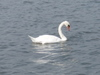 5_swan